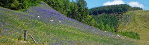 Bluebells near Abergwesyn