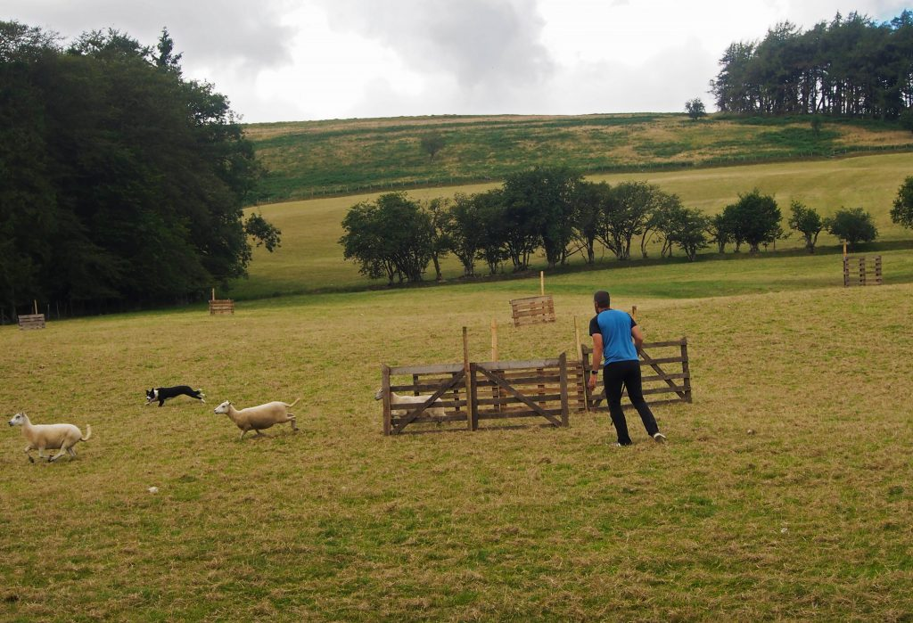 Sheep have to go through the gate to complete the trial