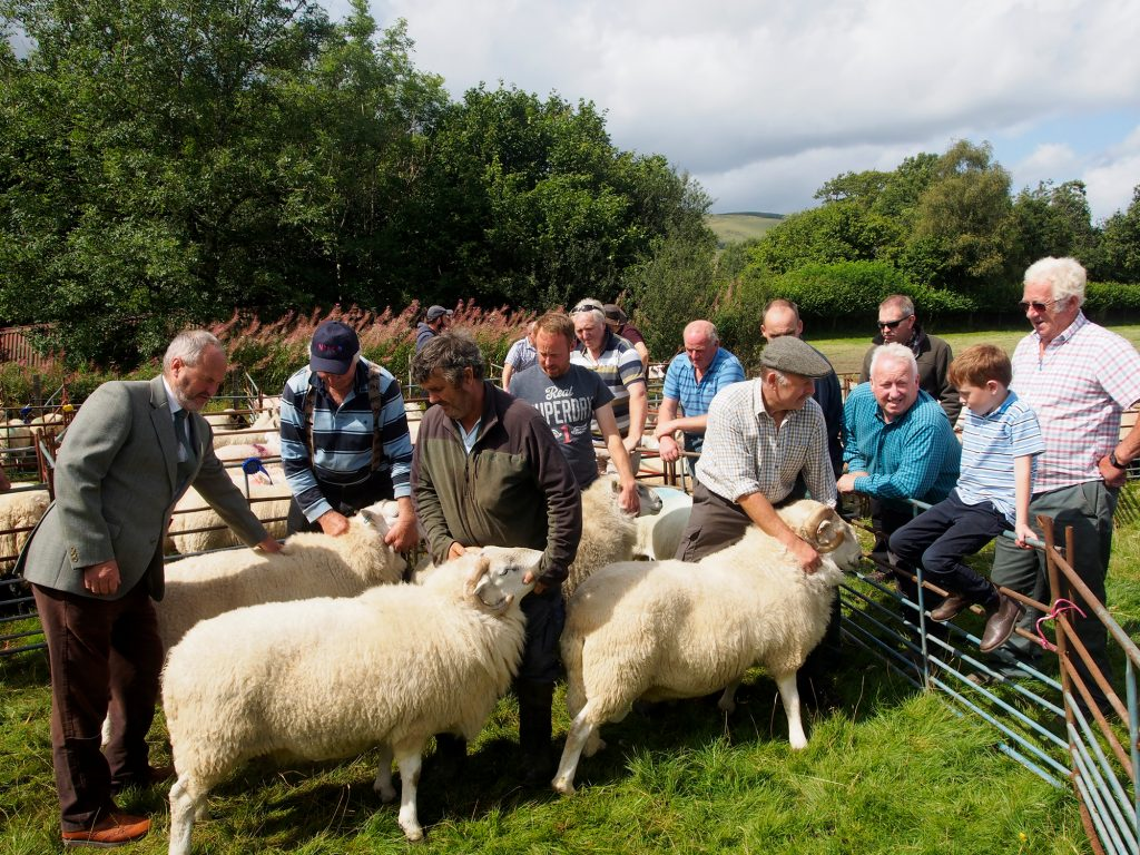 Sheep are judged in their separate classes at the Llanwrtyd Show.